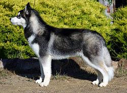 250px-Siberian-husky